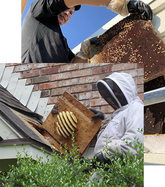 Bee Removal Dallas, Fort Worth, Plano, Highland Park